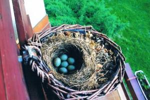 Gniazdo - jajka